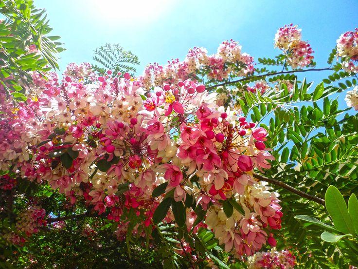 Cassia javanica , rainbow showers tree