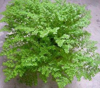 Pilea microphylla - Brilhantina