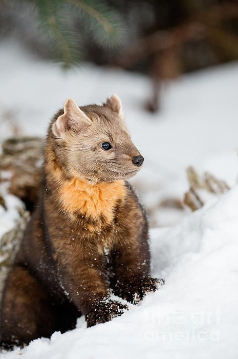 Pine Marten In The Snow by Melody Watson**