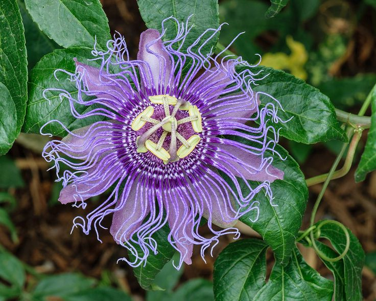 Passion Vine, purple petals and purple corona filaments variety, at the Butterfly Garden at Norfolk Botanical Garden, Norfolk, Virginia  Photo credit: PumpkinSky via Wikimedia Commons, Public Domain  creativecommons.org/licenses/by-sa/4.0/deed.en  en.wikipedia.org/wiki/Norfolk_Botanical_Garden#/media/Fil...