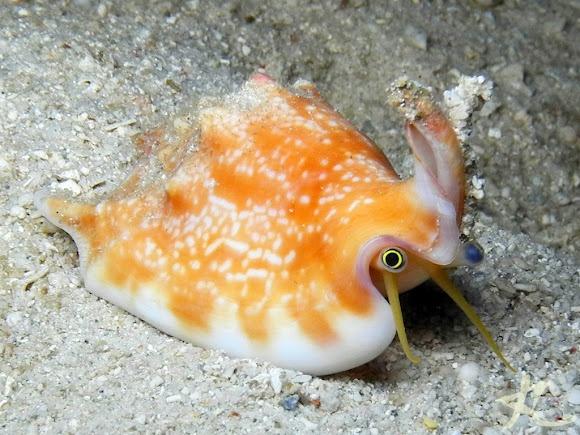 live Vomer Conch, Philippines