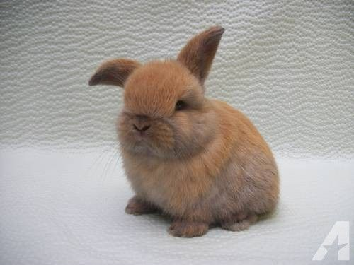 Cute Baby Bunnies | Super Cute Holland Lop bunnies for sale in SC for sale in Travelers ...