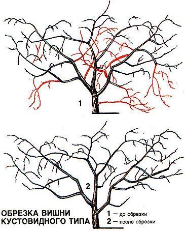 Как происходит обрезка вишни весной, летом и осенью? Обрезка молодой и старой…
