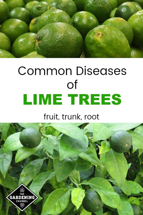 Common Diseases Of Lime Trees Gardening Channel Lime Tree Citrus Plant Citrus Trees