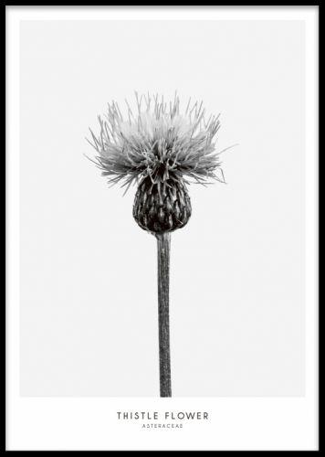 Thistle flower, print. Sort og hvid plakat med blomster.