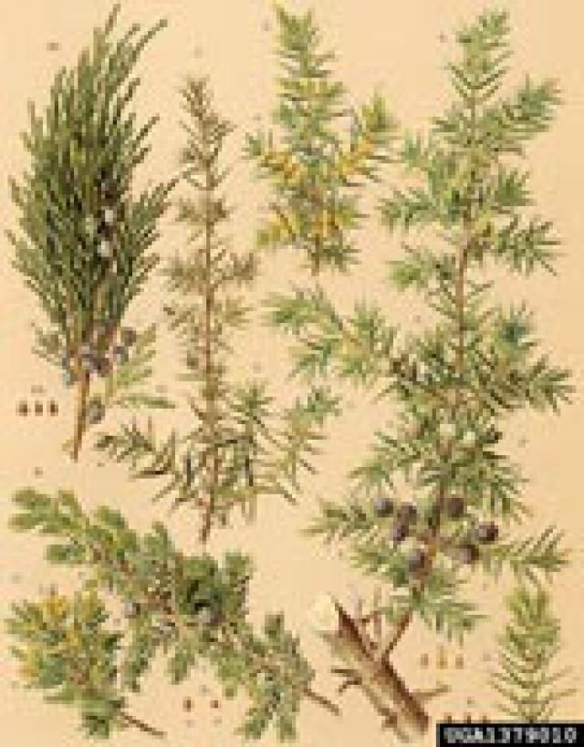 Know your common North American junipers.: Juniper Tree Images from ForestryImages.org
