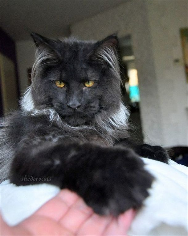 Black Smoke Maine Coon Cat Picture