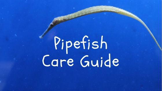 Pipefish Care Guide Read Before You Buy Saltwater Aquarium Blog Saltwater Aquarium Saltwater Aquarium Fish Saltwater