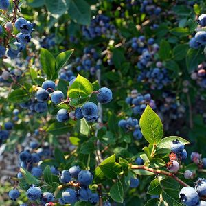 Farming & Agriculture: Growing Blueberry Bushes: Tips for Success