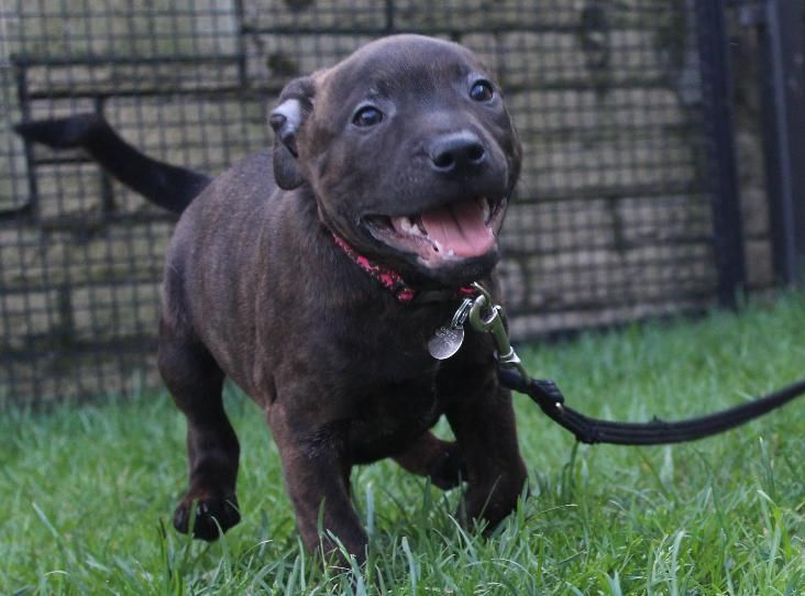 Staffie Puppy Puppies Funny Staffy Dog Cute Puppy Breeds