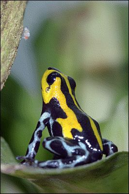 Antisocial beauty! This frog turns his back to the camera. Fortunately, it is a lovely back.