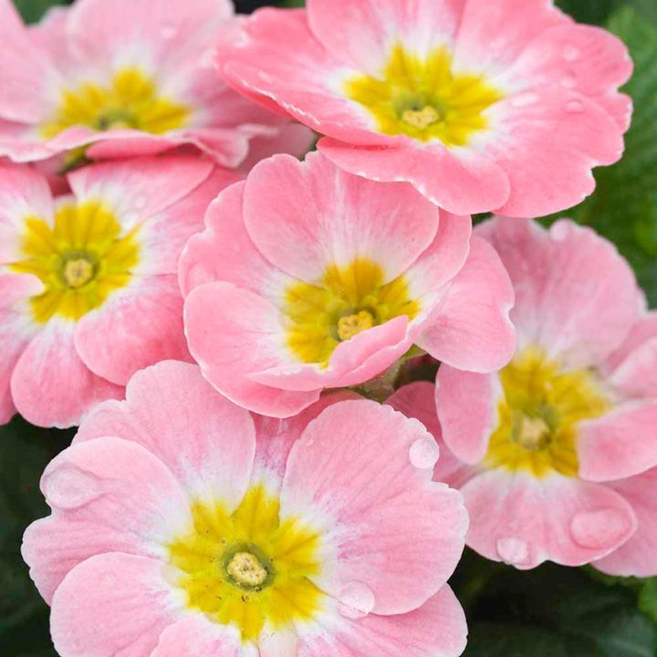 Primrose Plants - AppleblossomMesmerising flowers  A British-bred primrose producing mesmerising appleblossom-pink flowers with a yellow eye. Ideal for borders or patio containers. Flowers late winter through to spring. Height 15cm