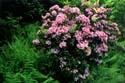 Mountain Laurel and Wood Ferns  by Ken Jenkins