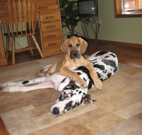 #Great #Dane #adult and #pup! Too much cuteness! #Great #Danes   #Greatdane #dog #breed #portrait   #Puppies #dogs
