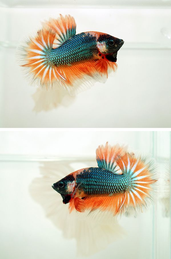 518 best bettas images on Pinterest   Betta, Fish aquariums and Fish ...