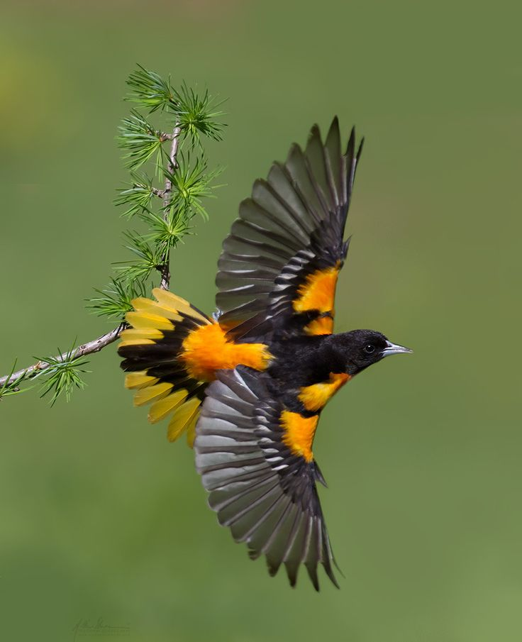 Like hummingbirds orioles love to consume sugar water from a feeder.  Colorful visitors to coax into one's yard. The one shown here is a Baltimore Oriole, an eastern, North American, migratory breeding bird and -- State Bird of Maryland.