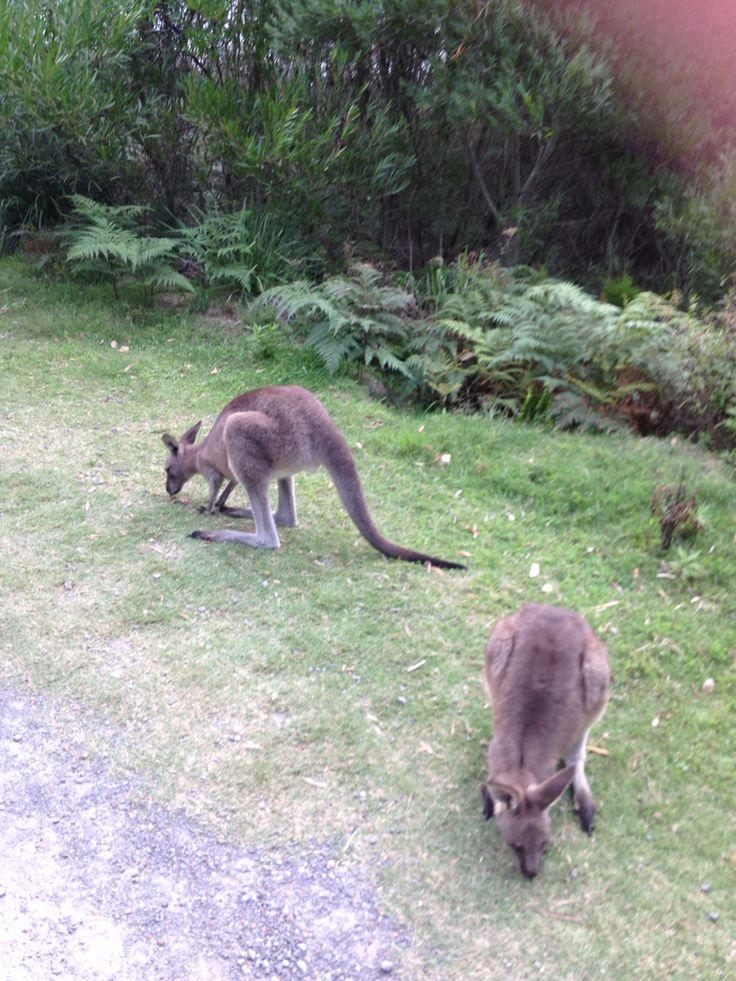 Kangaroos hopping around the campsite