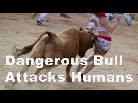 Dangerous Bull Attacks Humans Wild Animals Attacks 2016 Dangerous Bull Attacks Humans Wild Animals Attacks 2016  Bulls attacking humans on annual bulls festival. Some people injured badly from bulls attacks. Bullfighting portuguese: corrida de touros or tourada additionally known as tauromachia or tauromachy is a traditional spectacle of spain portugal elements of southern france and a few latin american countries (mexico colombia ecuador venezuela and peru) wherein one or more bulls are…