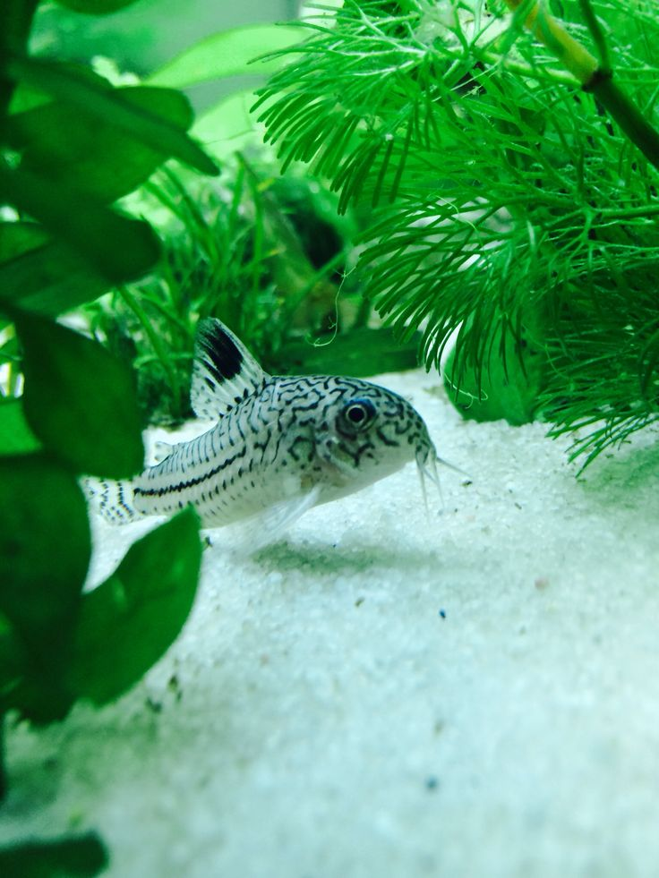 Corydoras thrive much better on sand than they do on gravel. Especially dwarf cories.
