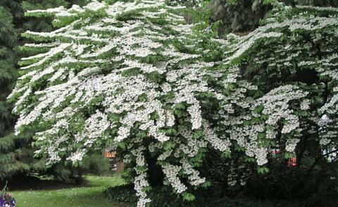 Japanische Schneeball (Viburnum plicatum)