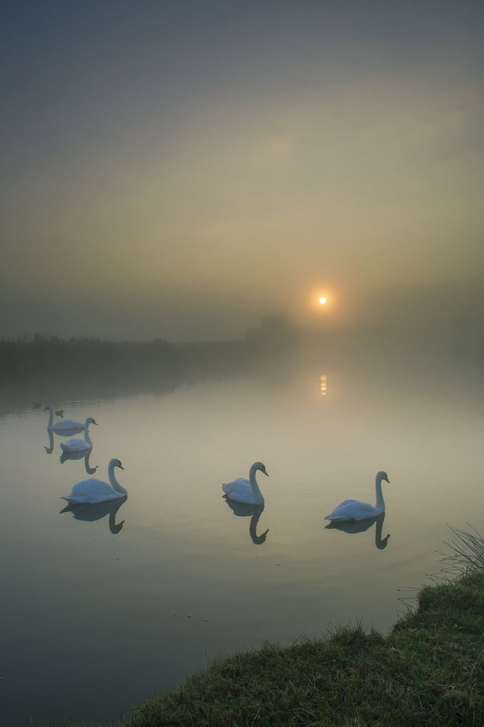 Shadow Birds ... Swans glide with otherworldy grace through an early mist ghosting over Lechlade-on-Thames, Gloucestershire, England | by Damien Davis on Flickr