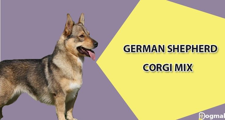 Corgi German shepherd mix- information and pictures - Corgi Shepherd is a mix breed of welsh corgi and German shepherd. The Corgi shepherd mix is a hybrid or designer dog breed he is a very intelligent and loyal dog breed.A corgi mixed with …