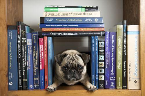 Pug Librarian