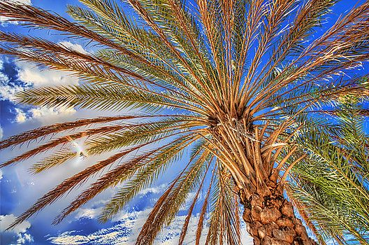 Nature's umbrella, the palm tree. On the caribbean beach sitting in the shade of a beautiful palm tree, looking up at the blue sky and the sun shines through the tree branches.
