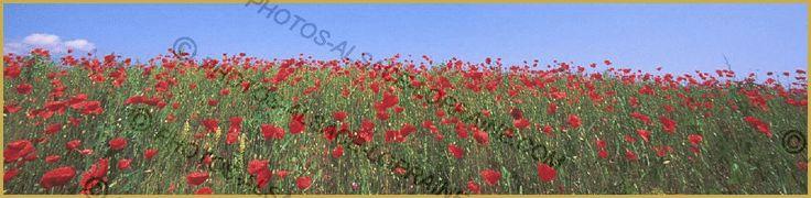 Alsace, collines sous-vosgiennes. Photo panoramique d'un champ de Coquelicot ou Pavot rouge ''Papaver rhoeas'', dans les collines calcaire de Molsheim au mois de juillet. Alsace photos, photos de fleurs, photo de Coquelicot.