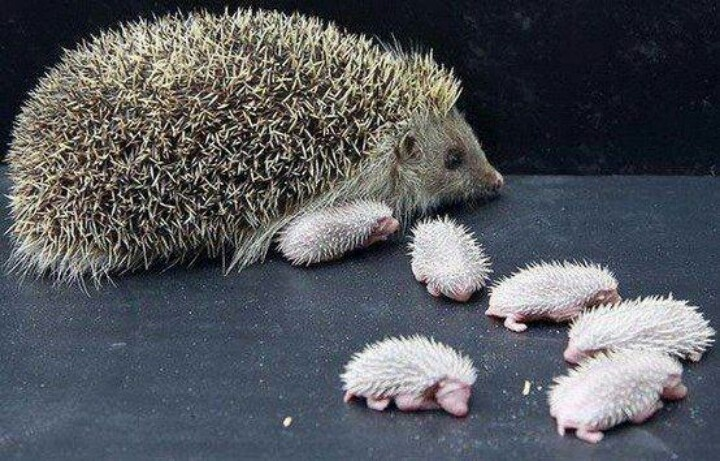 Hedgehog and babies