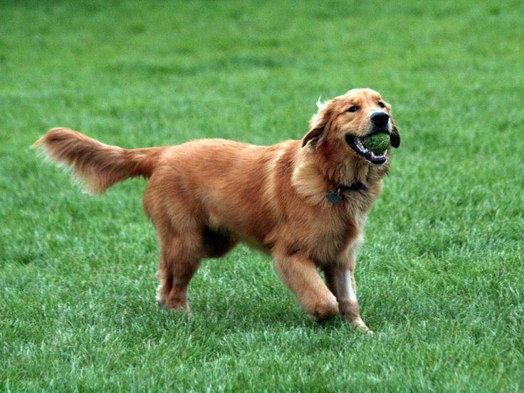 Golden Retrievers: Dogs, Golden Retrievers, Pets, Puppy, Friend, Dog Breeds, Animal, Golden Retriever