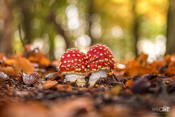 fly agaric by Wilco van der Laan Fotografie on 500px