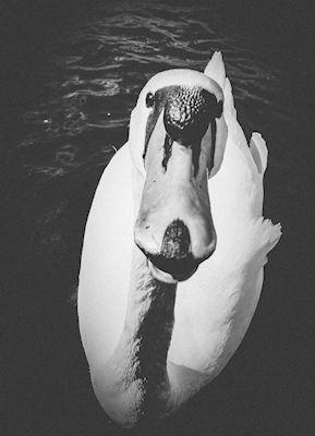 Marika Ottosson - Black swan, black and white photograph