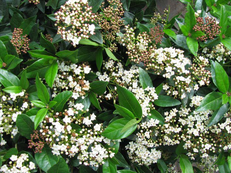 Βιβούρνο - Ψευδοδάφνη (Viburnum Tinus)