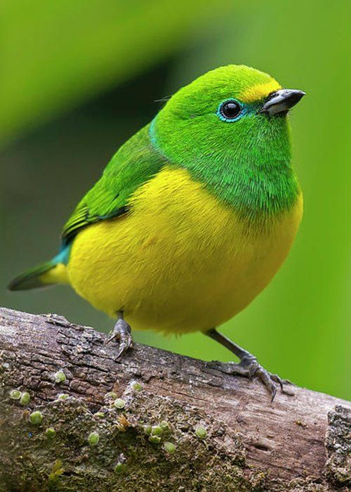 Blue-naped Chlorophonia by Juan Jose Arango.  Fine Art America