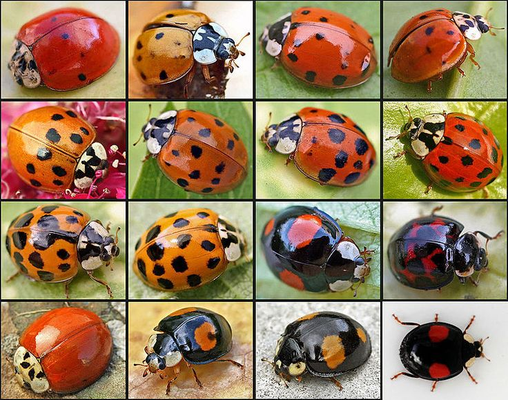 """Nooooo....!!  """"Ladybugs, once the championed protectors of backyard gardens, are showing spots of a less flattering color, and their public image looks like it could be taking an even bigger turn for the worse. A new study has found that invasive Harlequin ladybugs crossbreeding with a species of flightless ladybugs are creating a super strain of a buggy pest."""""""