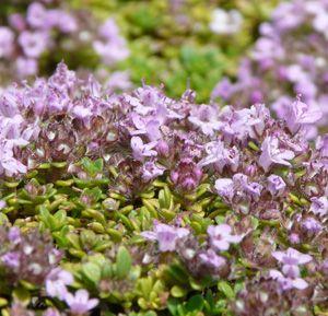 Thymus Hybride 'Rasta' - Polster-Thymian