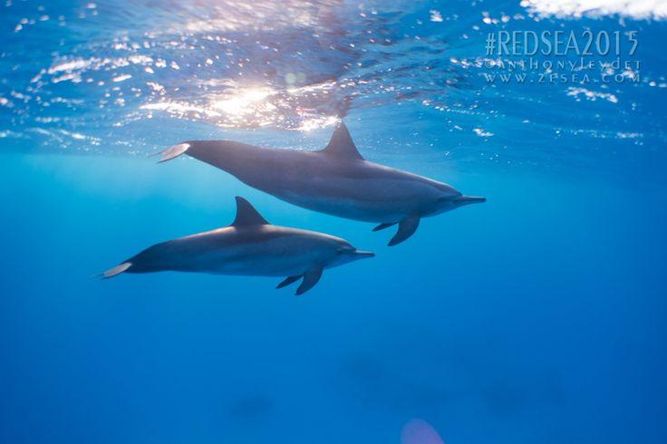 Nager avec les dauphins #dauphin #sataya #redsea #swim #plongée #diving #scuba