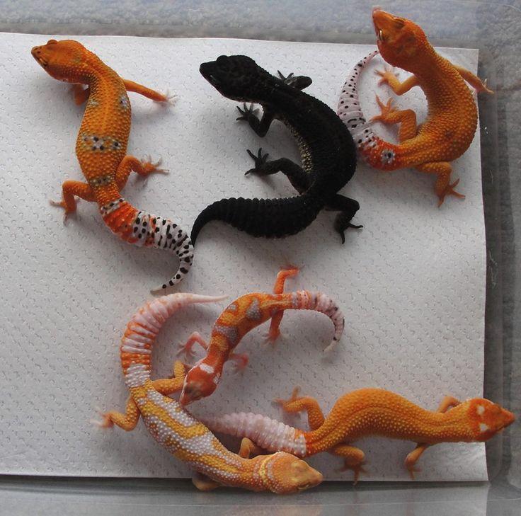 Designer Leopard Geckos- Firefox, Black night, Firefox enigma , albino Zorro mandarin designer, wy g Project, Firefox albino enigma.