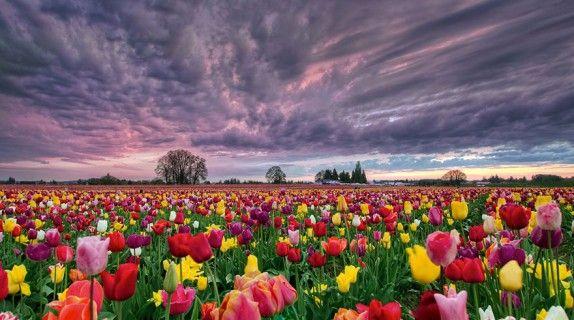 Foto di David Gn #marzo #primavera #spring #nature #natura #flower #fiori #flowerpower #iloveflower  #yellow #giallo #sunset #tramonto #tulips #tulip #tulipani #tulipano #rosa #bianco #viola #rosso #pink àwhite #purple #red #field #campo #tulipsfield #campoditulipani