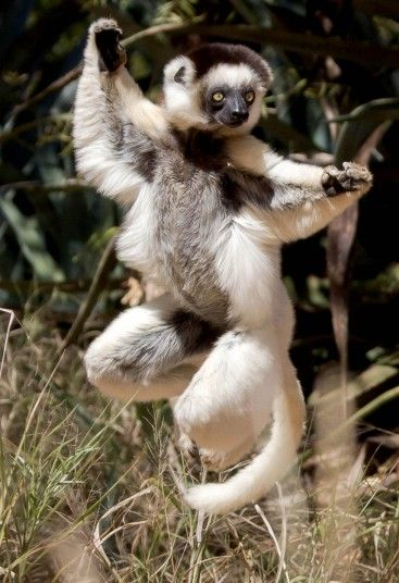 This Sifaka shows it likes to move it as it displays some dance moves, similar to the Sifaka in the movie, Madagascar, which was voiced by Sacha Baron Cohen. This lemur showed it weren't scared to show off to tourists who photographed it in Madagascar