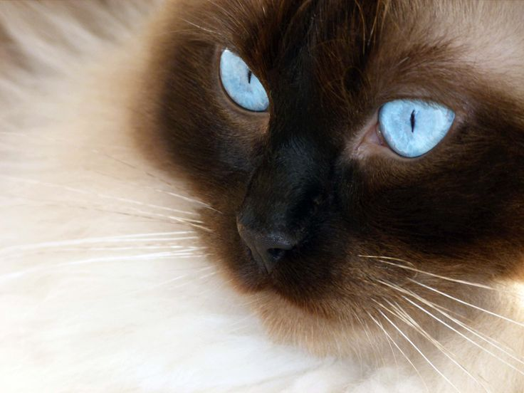 ragdoll cats wallpaper 10 | Funny Cat Wallpapers, Pictures, Images and Photos