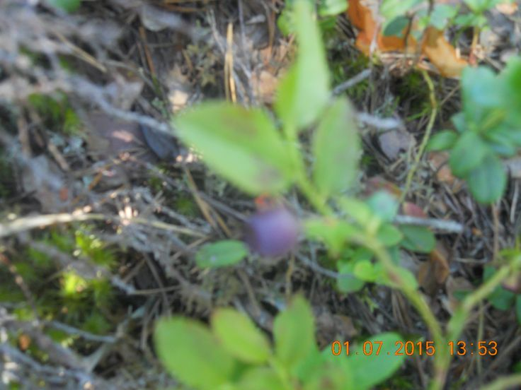 Blueberry in Nuuksio forrest