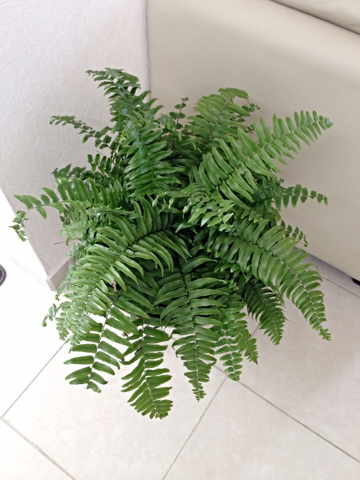 66 best images about flores chiquitas on pinterest for Non toxic ferns