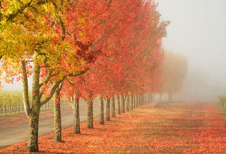 Liquid Amber trees
