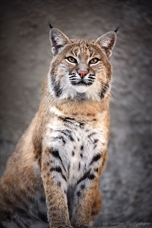 red bobcat (photograph by sergei gladyshev)