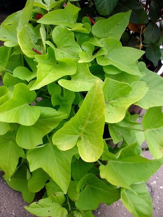 Grow Sweet Potatoes Containers-How To Start And Grow Sweet Potatoes At Home