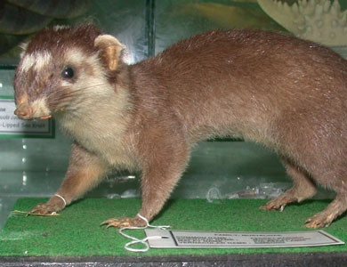 Bornean ferret-badger: Small Carnivorous, Wild Animal, Bornean Ferretbadg, Bornean Ferrets Badges, Fuzzy Scuzzies, Mustelidae Family