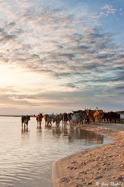 Nguni Cattle. BelAfrique your personal travel planner - www.BelAfrique.com