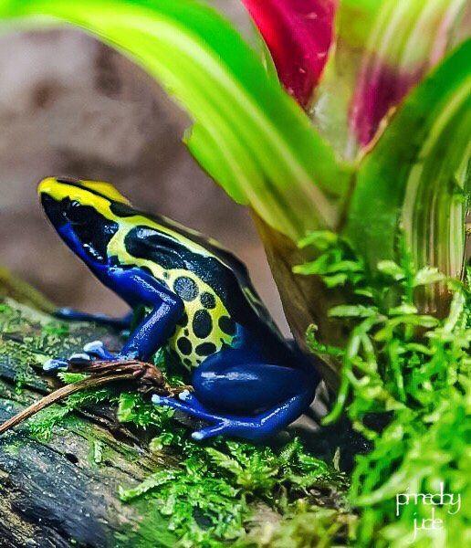 Amazon dart frog   Ranitomeya ventrimaculata